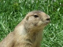 u0027s difference gophers woodchucks groundhogs