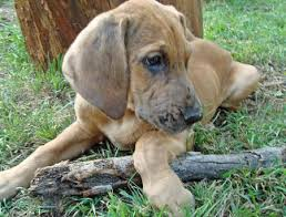 bluetick coonhound and bloodhound mix great dane bloodhound mix bloodhound mixed pinterest great
