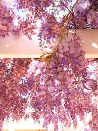 wisteria sinensis australian bush flower plants i love robin powell