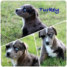 australian shepherd rottweiler mix puppies for sale turkey adopted puppy austin tx australian shepherd