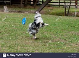 australian shepherd frisbee border collie catching frisbee border collie missing frisbee