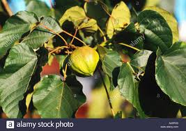 deliver fruit mu tree tung aleurites montana fruit in the foliage seeds