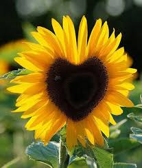 sunflower pictures follow the sunflower home is where the heart is