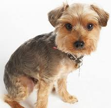 yorkie poo haircut meet the moddog knoxy