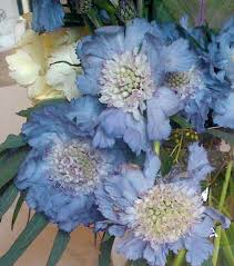 light blue flowers aquamarine dreams march s favorite flower color