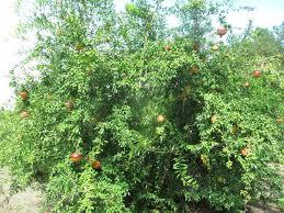salavatski pomegranate just fruits and exotics