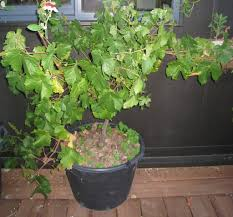 Planting Grapes In Backyard Can Grapes Be Grown In Containers U2013 How To Grow Grapes In A Container