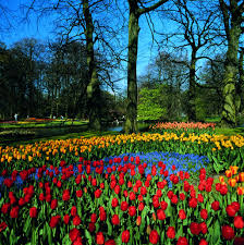 Netherlands Tulip Fields Holland In The Spring With The Tulip Fields In Full Bloom Is An