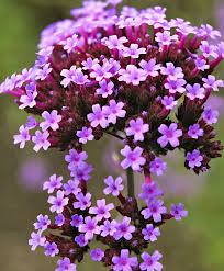 Verbena Flower Buy Hardy Perennials Now Verbena Bonariensis Bakker Com