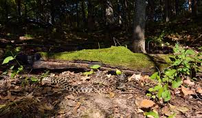 Galena Illinois Map by Galena Galena Illinois A Large Bull Snake Found In The Woods