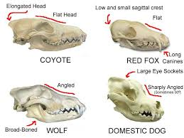 Dog Body Parts Anatomy Best 25 Wolf Skull Ideas On Pinterest Skull Mask Dog Skull And
