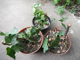 young english ivy plants in a small pot 50p per pot in north