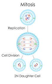 cell division diagram diagram images wiring diagram