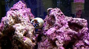 electric blue hermit crab u0026 dwarf red tip hermit crab youtube