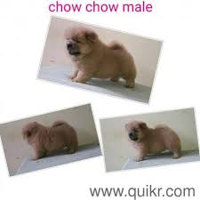 boxer dog quikr 9555646060 chow chow male dog sell in delhi in raja garden