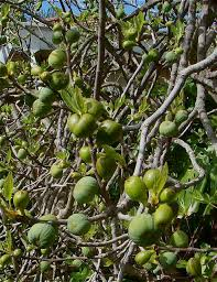 ornamental figs but they a real one i m ced right next