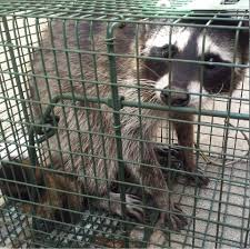 denver co raccoon control services raccoon removal guide