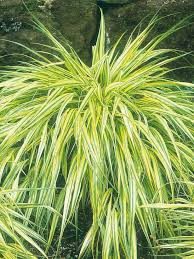 234 best ornamental grasses images on ornamental