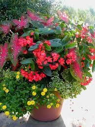 15 dragon wing begonias images garden