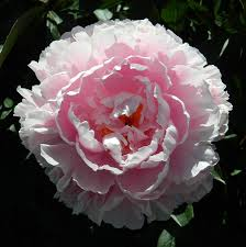 giant carnation photograph by gallery of hope