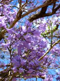 tree with purple flowers purple flowering trees hunker