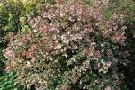 Plant of the week: Abelia X grandiflora | landscape architecture Blog