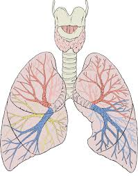 Why Is Anatomy And Physiology Important Lung Wikipedia