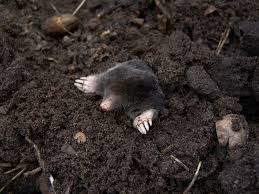moles how to identify and get rid of moles in the garden or yard