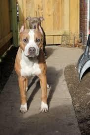 american stanford terrier y american pitbull terrier american pit bull terrier for the love of dogs pinterest