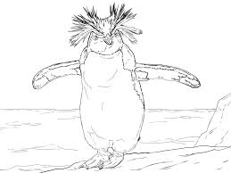 new zealand animal northern rockhopper penguin coloring page