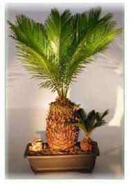 indoor palm tree palm trees with an tropical feel