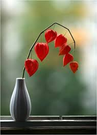 japanese lantern plant japanese lanterns this is actually a plant called japanese