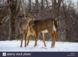two white tailed doe deer kissing in winter in a backyard in a