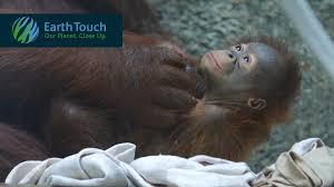 Toledo Zoo Halloween 2014 by Heartrending Orangutan Video U0026 New Eia Report Highlight The Palm