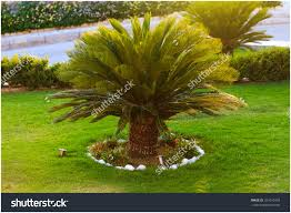 backyards amazing good looking sago palm trees growing in the