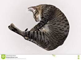 sleeping on short hair sleeping rolled cat stock photo image of shortthair 81335430