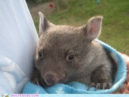 Wombat Memes - daily squee wombat cute animals in the cutest pictures ever