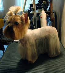 joypia yorkshire haircuts explore yorkie haircuts pictures and select the best style for