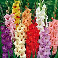 gladiolus flowers gladiolus flower bulbs farmer