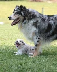 australian shepherd forum what breed is zoe update dog community dog pictures dog