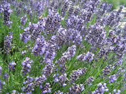 plants native to france planting u0026 care sunshine lavender farm