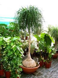 trees planet beaucarnea recurvata ponytail palm