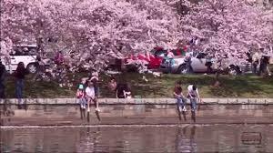 cherry blossom festival in washington dc youtube