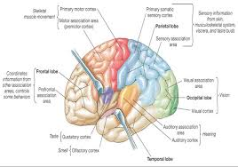 Part Of The Brain Stem That Is Involved In Arousal Associate Degree Nursing Physiology Review