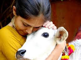 103 best cow and calf images on pinterest incredible india