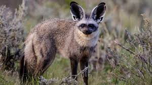 african bat eared fox fact animals name a to z
