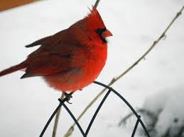 Cardinal Bird Home Decor by Cardinal Puffy Jpg 4 000 3 000 Pixels Cardinals Pinterest Bird