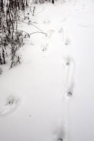 identifying common animal tracks deer tracks dog tracks summer