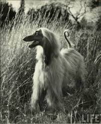 afghan hound vintage 1st afghan hound to win 1957 bis at westminster dog show