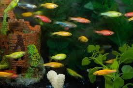 the best and worst beginner fish for your aquarium pethelpful